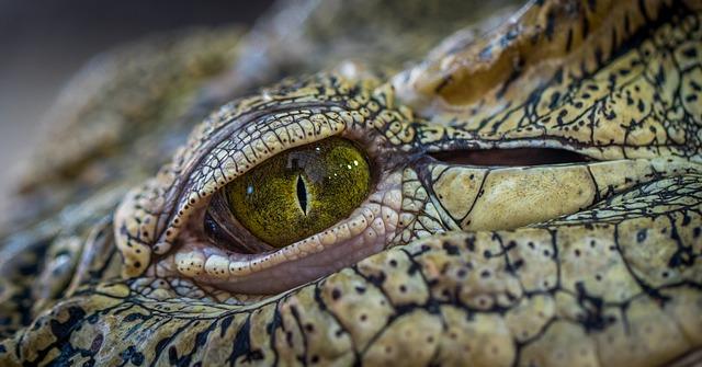 krokodýlí oko