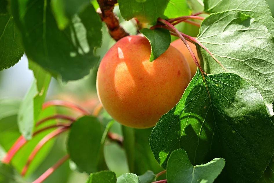 meruňka na stromě